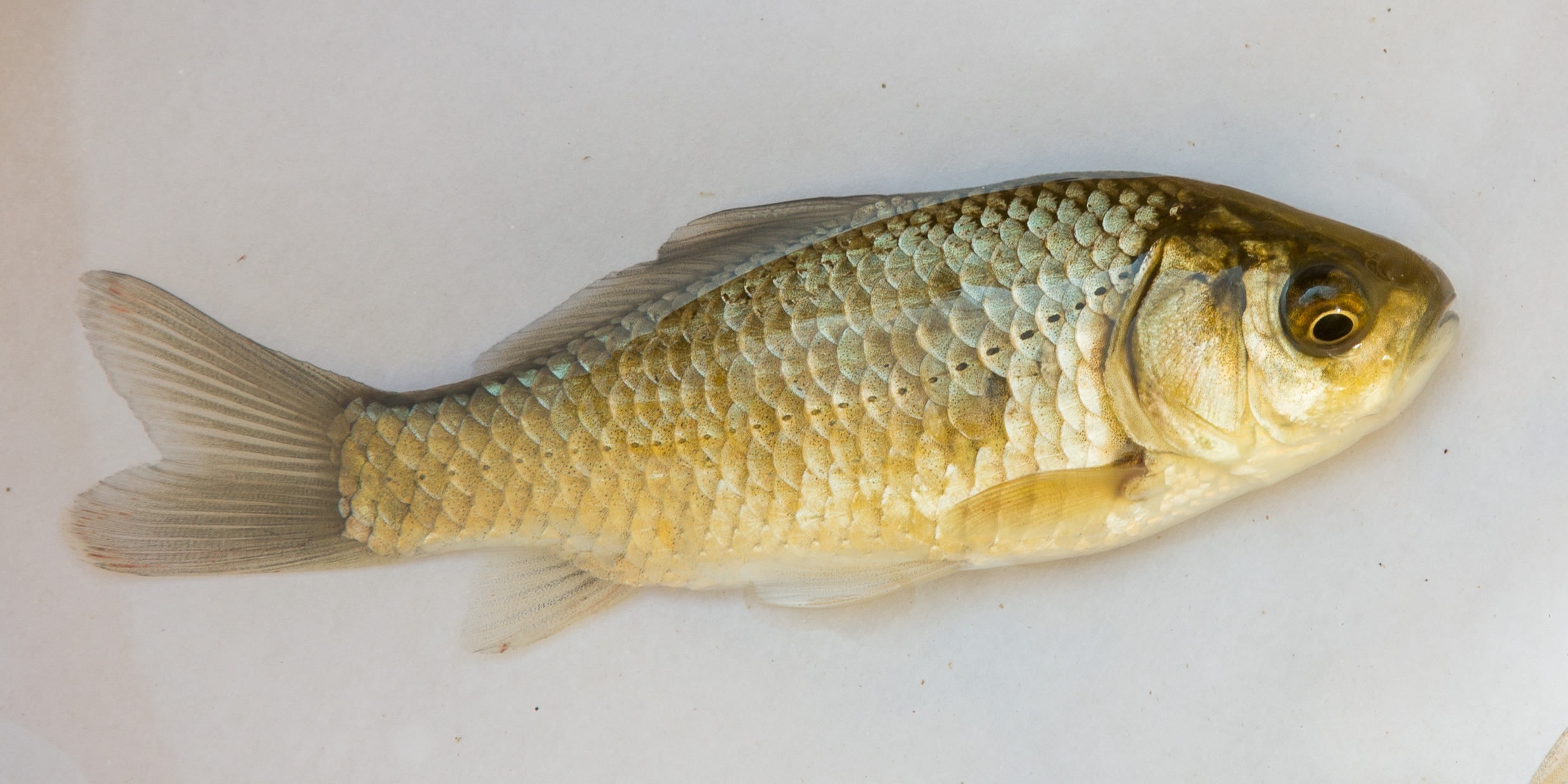 Teichfisch bestimmen wer weiss for Teichfische arten bilder