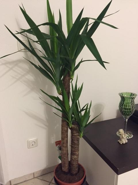 wasserbedarf f r zimmerpflanze yucca elephant wer weiss. Black Bedroom Furniture Sets. Home Design Ideas